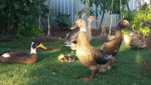 lucky ducks and duckling