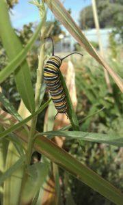 caterpillar weeds for butterflies