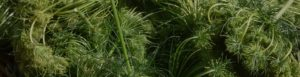 header image for Rare Green Seeds