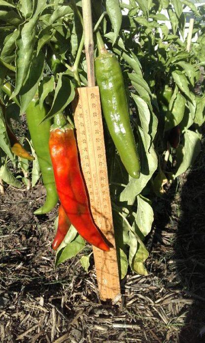 joeEparker chilli next to ruler