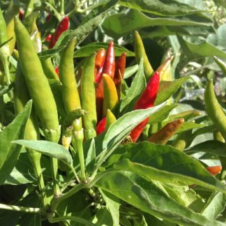 thai chilli fruit