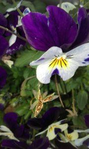 viola flower with seeds