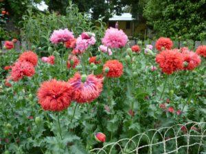 Peonie Poppies