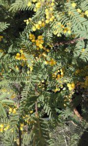 acacia tubestock flowering