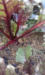 beetroot image for winter update