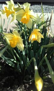 Daffodils - Spring has Sprung