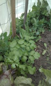 veggies_growing_under_a_curtain