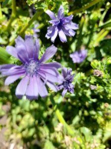 endive flower